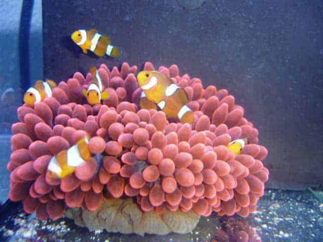 Tweebands Anemoonvissen in anemoon