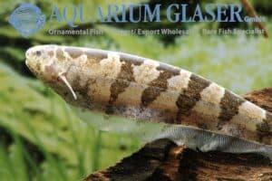 Steatogenys elegans