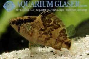 Nandus nebulosus - Borneo Bladvis