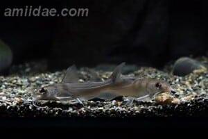Chrysichthys brevibarbis