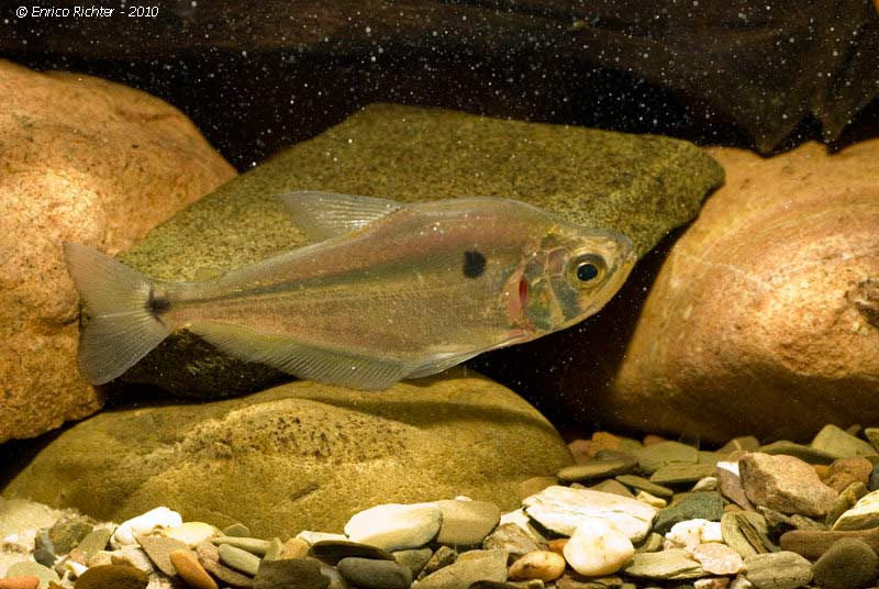 Roeboides microlepis