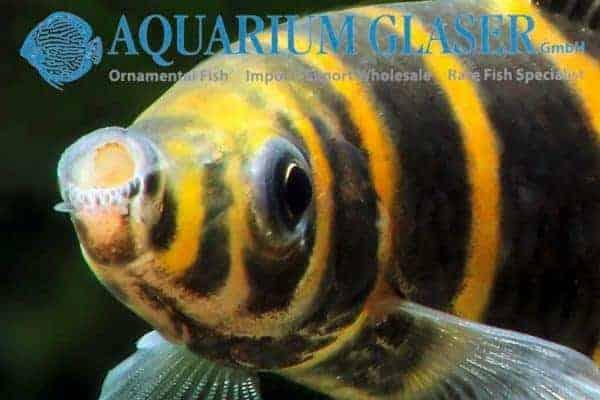 Synaptolaemus latofasciatus - Close up