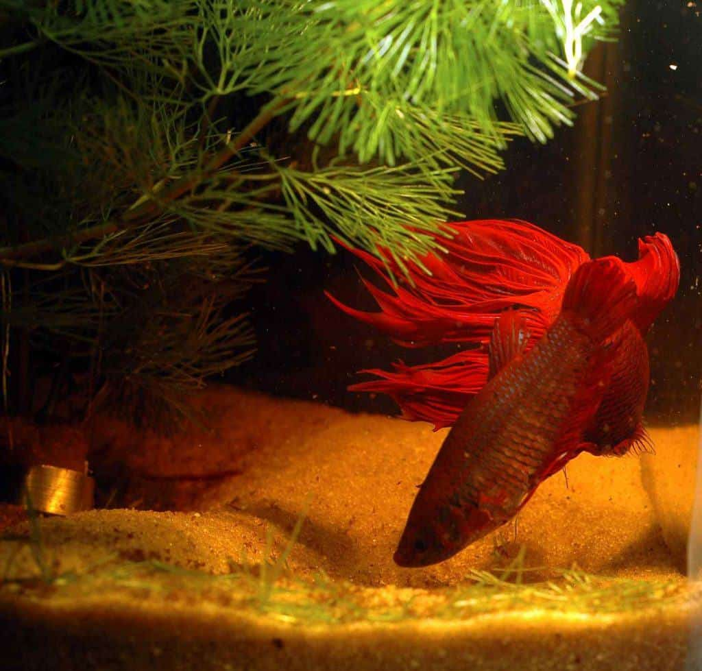 Keeping and breeding Betta splendens, the Siamese fighting fish ...