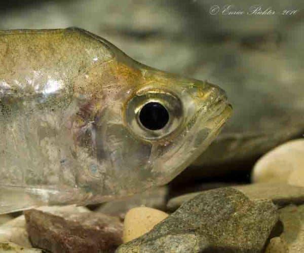 Charax gibbosus