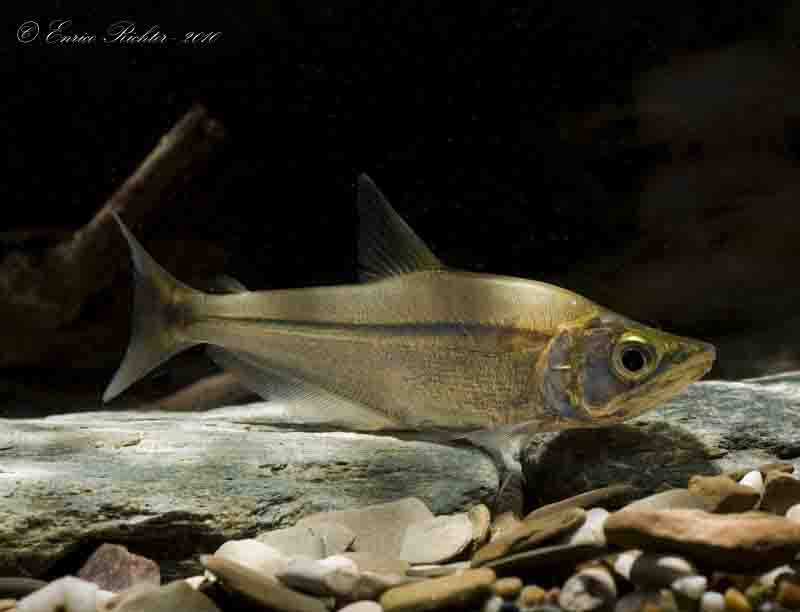 Galeocharax gulo