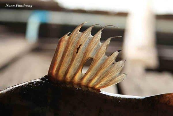 Hemibagrus filamentus rugvin