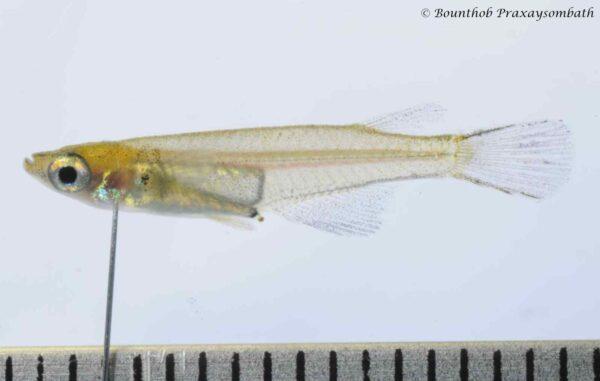 Oryzias songkhramensis
