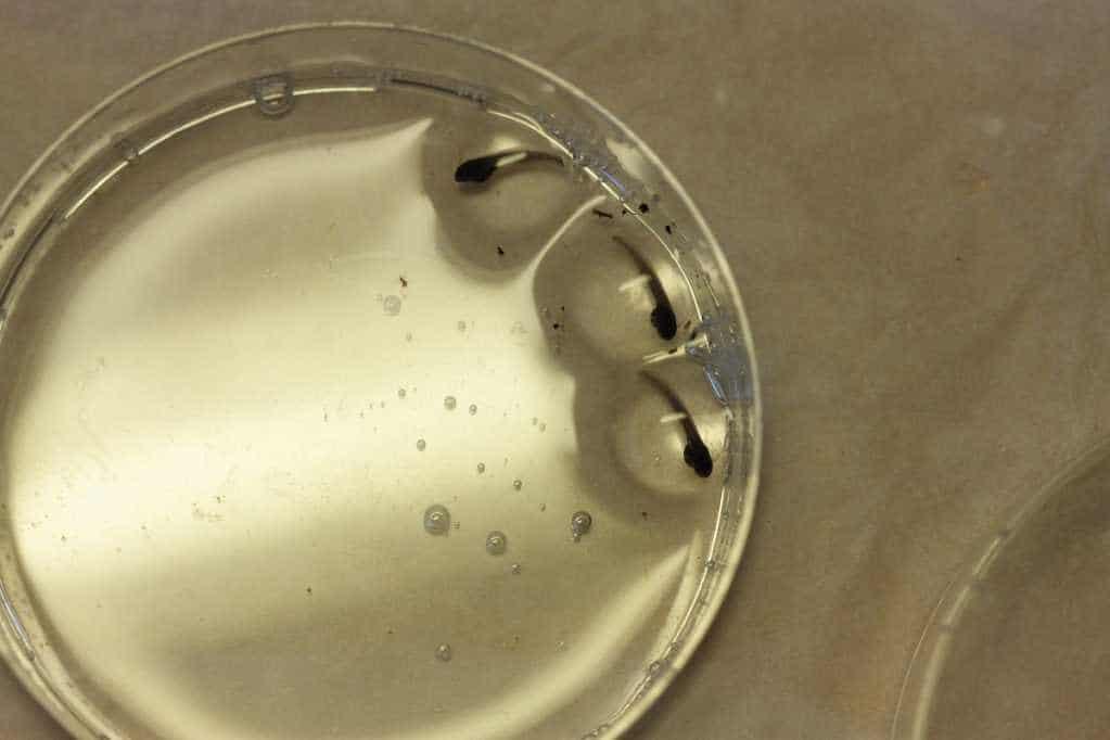 Ranitomeya ventrimaculata larven