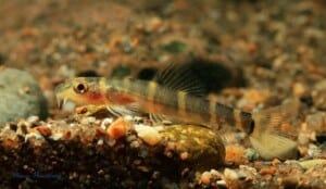 Barbuccidae