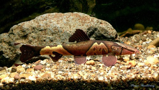 Homaloptera parclitella