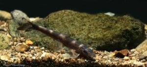 Balitoropsis zollingeri