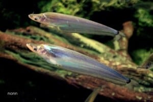 Phalacronotus bleekeri