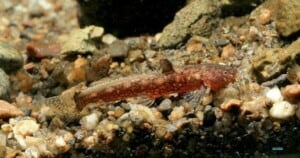 Parakysis longirostris