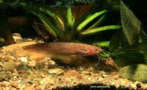 Silurichthys