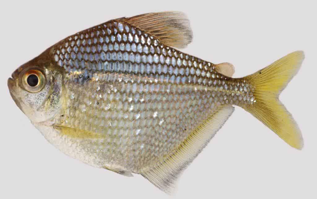 Brachychalcinus reisi