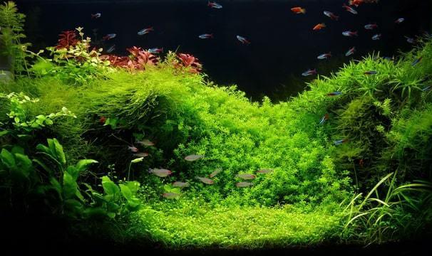 Een groep Neon tetra's in een goed beplant aquarium. Er is voldoende dekking, overal zijn soortgenoten in zicht, gevolg; de groep valt uiteen in diverse kleinere groepjes die door het hele aquarium zwerven.