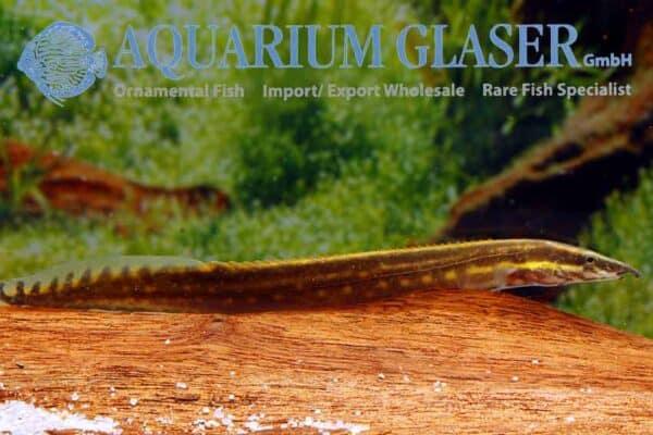 Mastacembelus erythrotaenia - Vuuraal