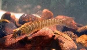 Nemacheilus platiceps