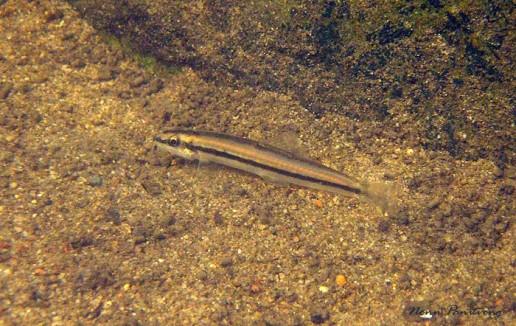 Nemacheilus binotatus