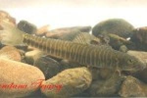 Neonoemacheilus labeosus