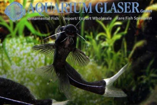Bagrichthys macracanthus - Buik
