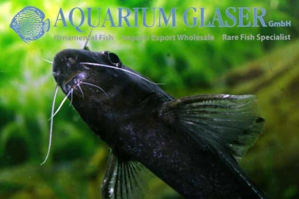 Bagrichthys macracanthus - Close up snuit