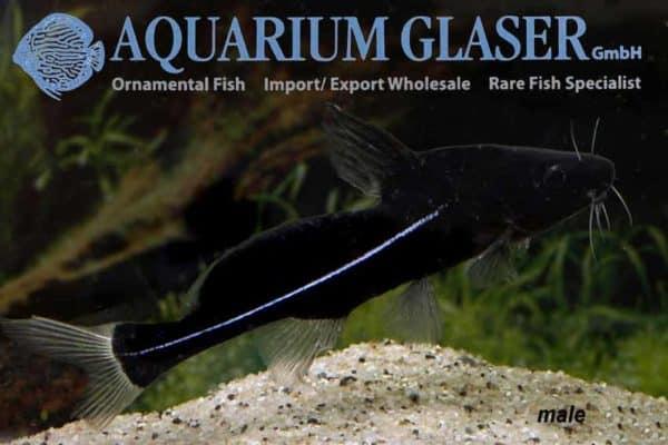 Bagrichthys macracanthus - Man