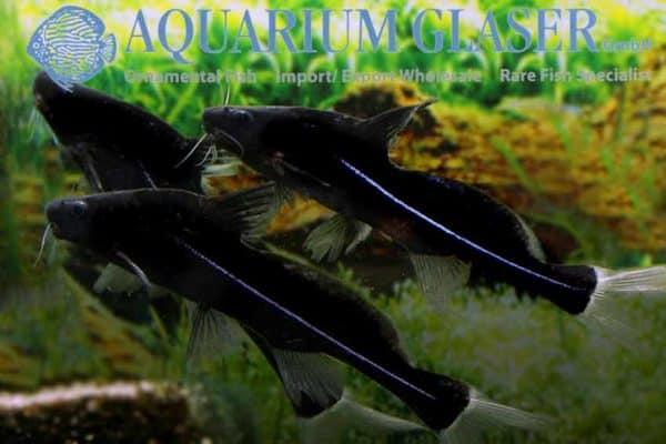 Bagrichthys macracanthus - Trio