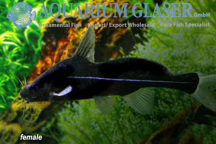 Bagrichthys macracanthus - Vrouw
