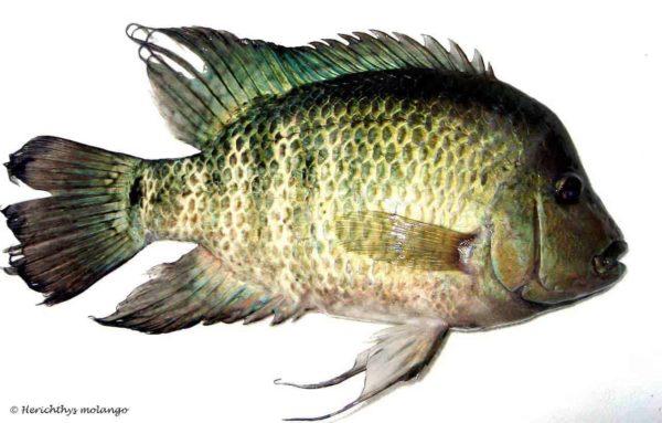 Herichthys tepehua - Rio Cazones