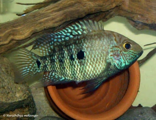 Herichthys tepehua - Rio Pantepec - Vrouw