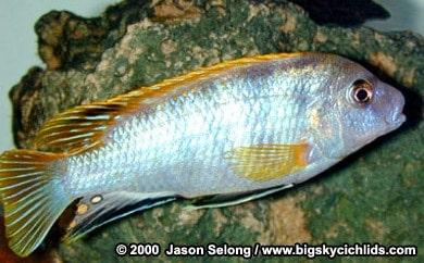 Labidchromis sp. Perlmutt