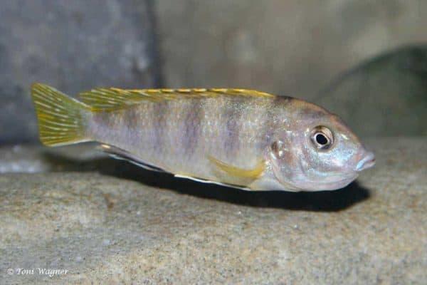 Labidochromis sp. Perlmutt - vrouw met bekje vol eieren