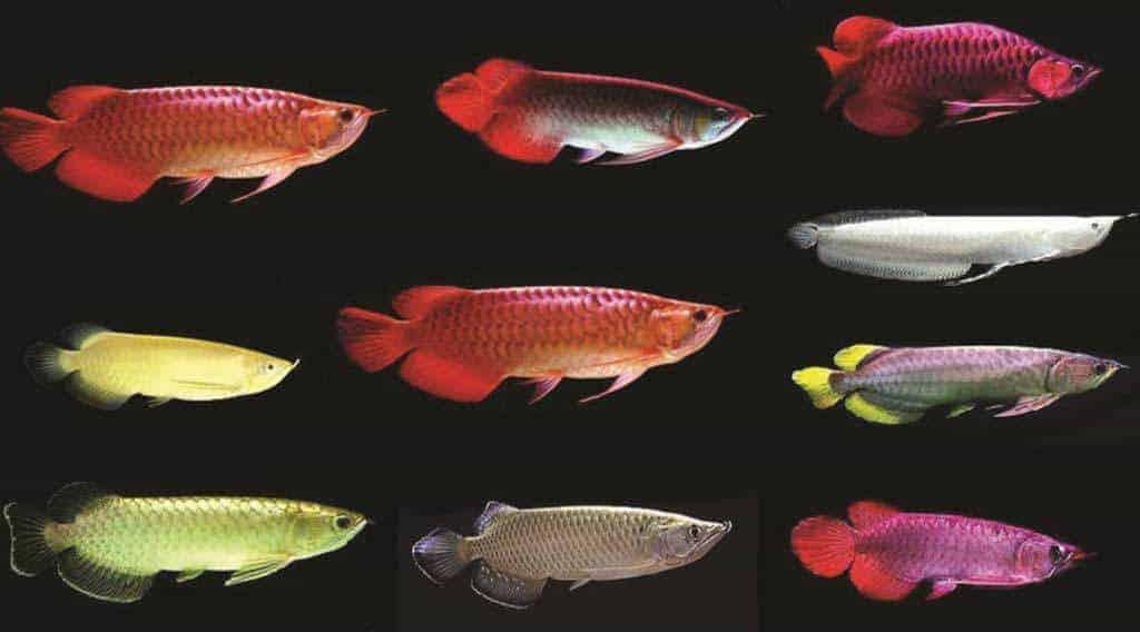 Kleurvariaties Gouden Arowana