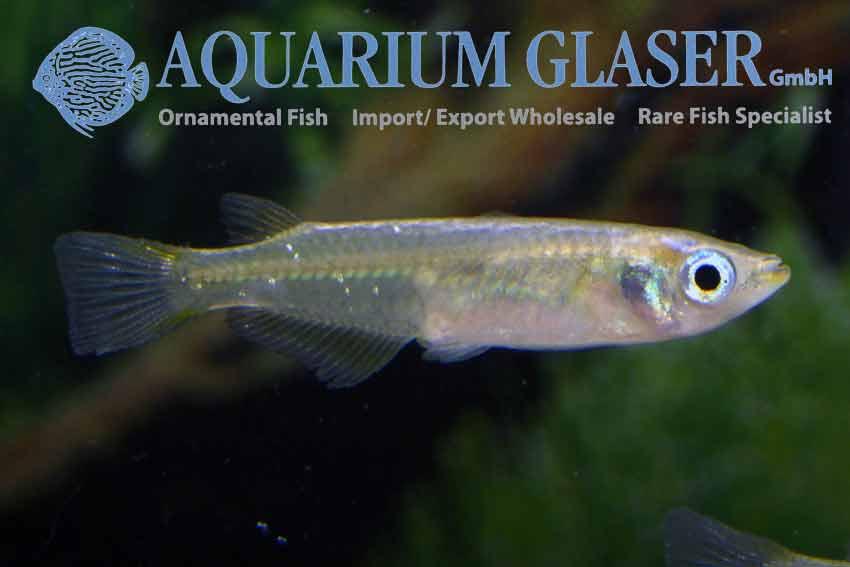 Oryzias latipes - Japanse Rijstvis