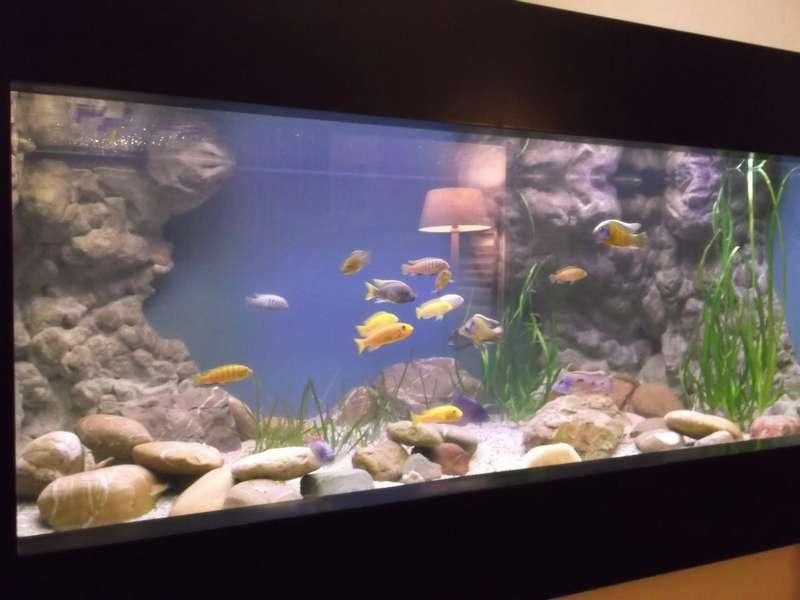 aquarium met malawi cichliden