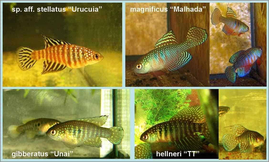 Overzicht Hypsolebias soorten