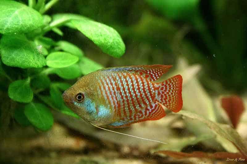 Trichogaster lalius - man