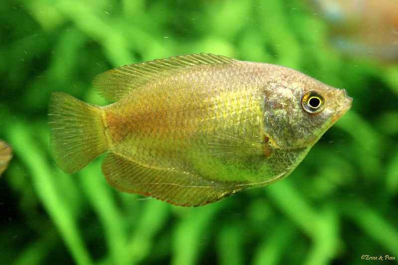 Trichogaster lalius - vrouw