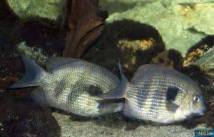 Breeding pair Paretroplus maculatus