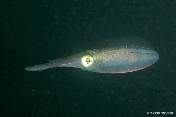 Sepioteuthis sepioidea - Caribische Rif Inktvis