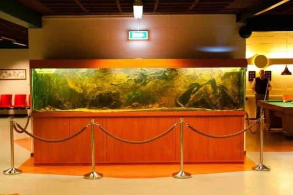 Theraps godmanni aquarium