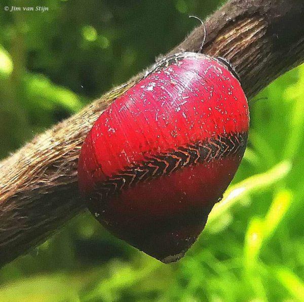 Vittina waigiensis - Rode Neritina Slak