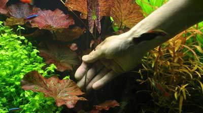 Bladeren van de tijgerlotus worden afgesneden