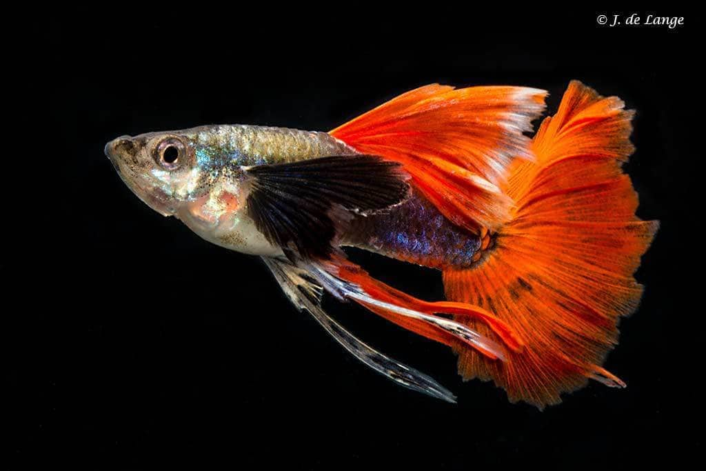 Platinum Dumbo Red Tail Ribbon Fin Guppy