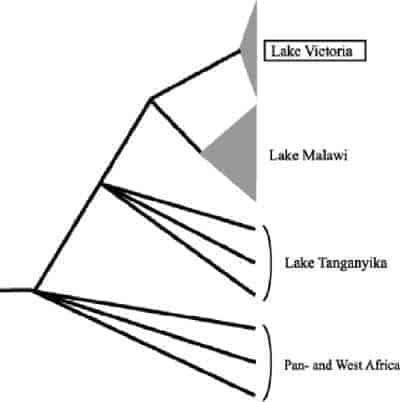Splitsing geslachten Afrikaanse cichliden