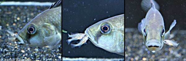 Astatotilapia calliptera - Vrouw met broedzorg