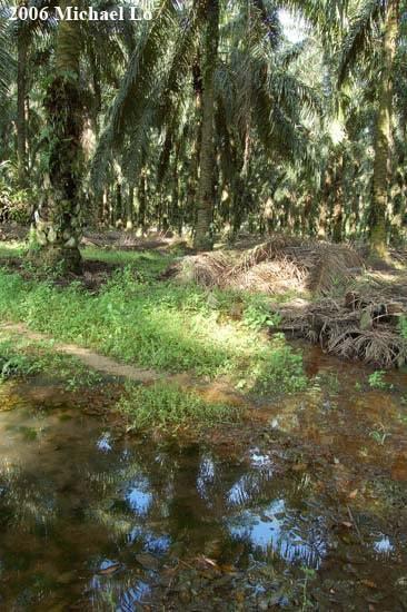 Betta pugnax - Biotoop aangetast door palm olie plantage in Kota Tinggi - Zuid Johor