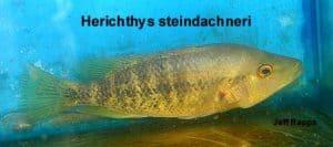 Herichthys steindachneri