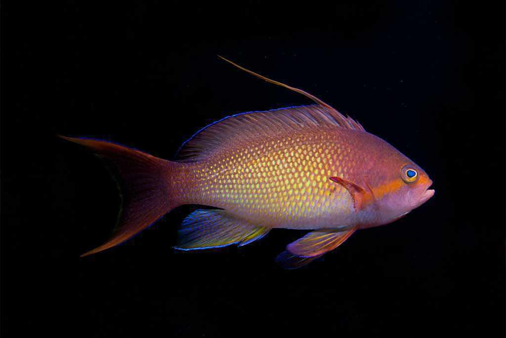 Pseudanthias squamipinnis - Rode Vlagbaars - man